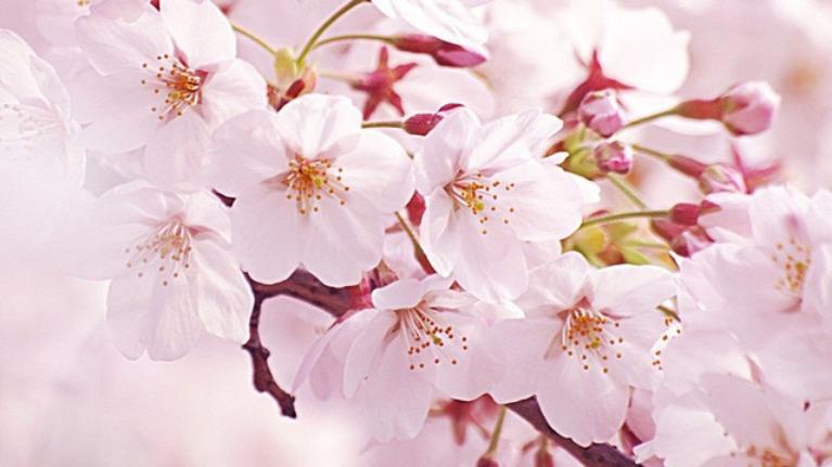 Bạn biết bao nhiêu về hoa anh đào ?
